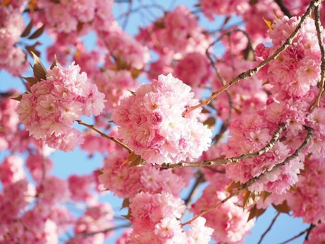 cherry-blossom-1260646_640