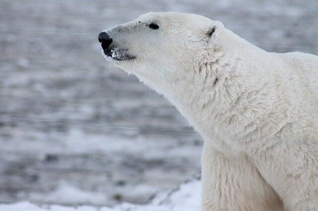 polar-bear-404315_640