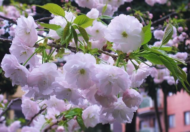 double-cherry-blossoms-1665452_640