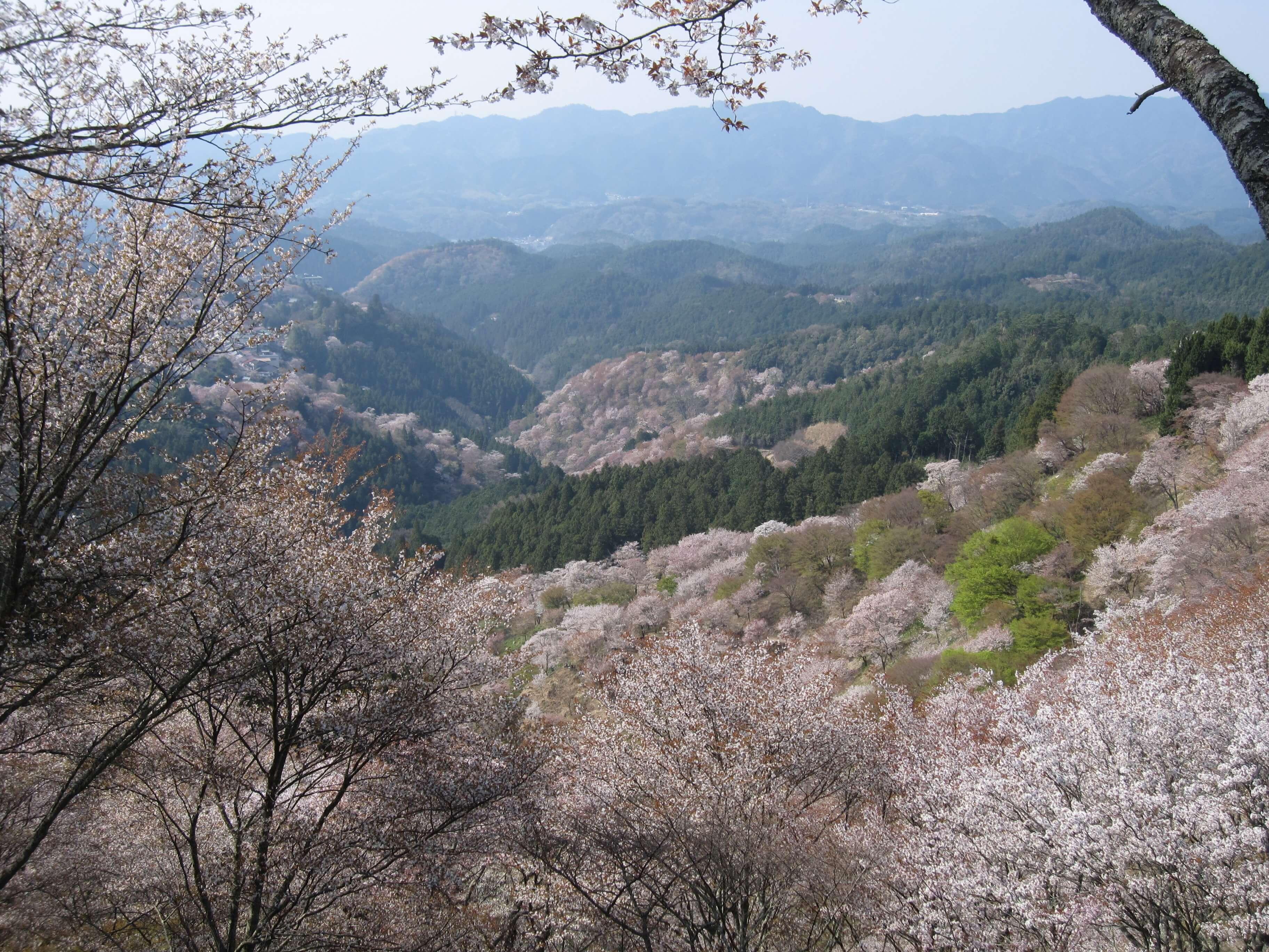 お勧めの8Kコンテンツ『やまと尼寺 精進日記 4K』『吉野の桜』を見に行こう